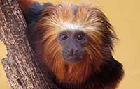 Golden Lion Tamarin at Monkey Park in Tenerife