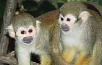 Squirrel Monkey at Monkey Park in Tenerife